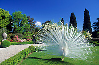 ITA, Italien, Piemont, bei Stresa, Borromaeischen Inseln, Isola Bella, weisser Pfau im Garten des Palazzo Borromeo | ITA, Italy, Piemont, near Stresa, Borromean Islands, Isola Bella, white peacock at garden of Palazzo Borromeo