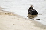 Sea Otter (Enhydra lutris) male grooming on beach, Elkhorn Slough, Monterey Bay, California