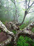 Rhododendron in an ancient forest, Craggy Pinnacle Trail, Craggy Gardens