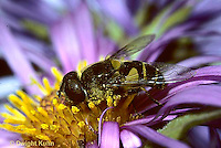 1D03-025z   Flower Fly - (Hover Fly) - pollinating  Aster flower