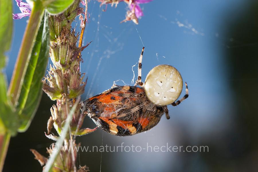 Vierfleck-Kreuzspinne, hat Schmetterling erbeutet, Kleiner Fuchs, Beute, Vierfleckkreuzspinne, Weibchen, Kreuzspinne, Araneus quadratus, fourspotted orbweaver, female, Araneidae, Radnetzspinnen, Kreuzspinnen, orbweavers, orb-weaving spiders