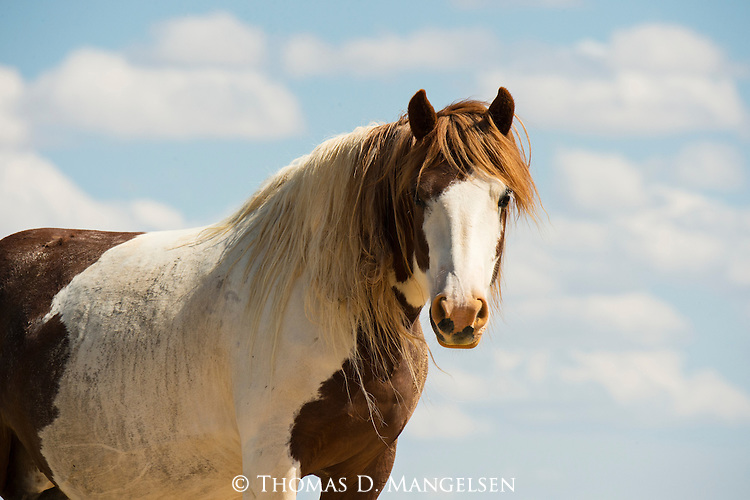 A wild horse stands looking into the camera in Northwest Wyoming.
