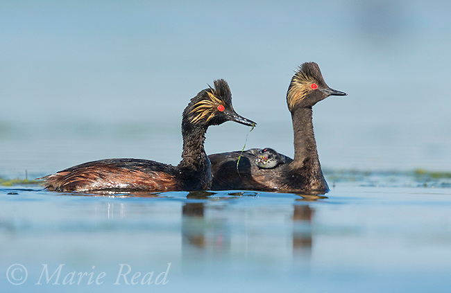 Eared Grebes (Podiceps nigricollis), pair, one adult with food (damselfly) for chick riding on the other adult's back, Bowdoin National Wildlife Refuge, Montana, USA