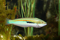 Meerjunker, Mittelmeer-Junker, Männchen, Coris julis, Labrus julis, Mediterranean rainbow wrasse, Rainbow wrasse, Mediterranean rainbowfish, male, Lippfische, Labridae