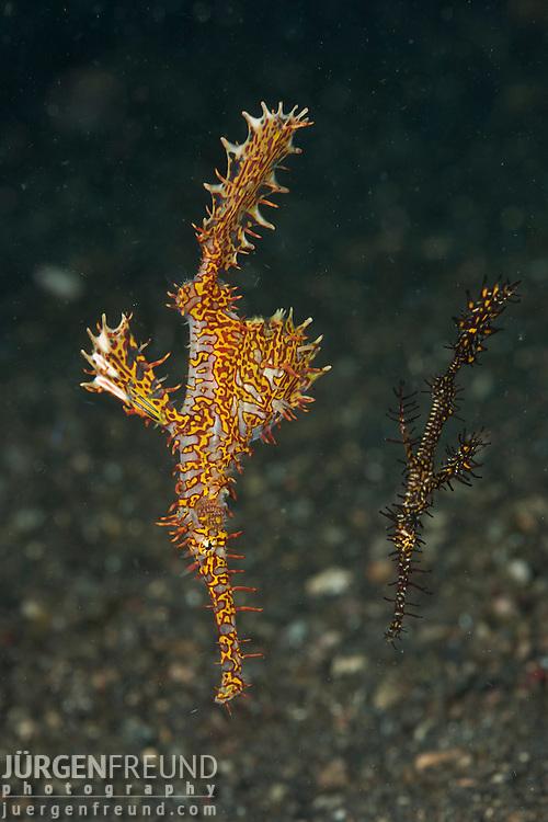 2 Ornate ghost pipefish (Solenostomus paradoxus) on the sandy bottom.
