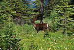 Woodland caribou, Tonquin Valley, Jasper National Park, Alberta, Canada