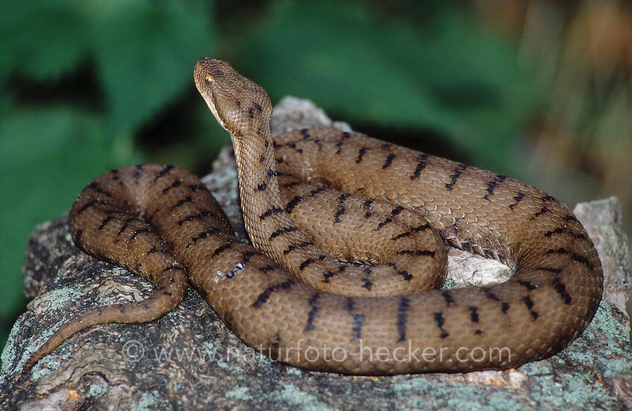 Aspisviper, Aspis-Viper, Vipera aspis, asp, asp viper, European asp, aspic viper, Vipern, Ottern, Viperidae, vipers
