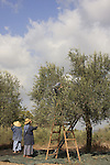 Israel, Shephelah, Olive picking by the Sisters of Bethlehem in Beth Gemal