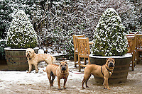 Well-behaved dogs tied to snow covered plant pots outside Kenwood House, Hampstead Heath, London, England, United Kingdom