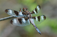 389320006 a wild male twelve-spotted skimmer libellula pulchella perches on a dead plant stem in modoc county california