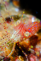 Rough Patch shrimp, Pandalus stenopepis, Barkley Sound, Vancouver Island, British Columbia, Pacific Ocean