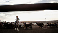 A cowboy herds cattle in a feedyard in Mead, Kansas. A feedyard is part of the factory farming process where animals are fattened up prior to slaughter. They are mostly fed on corn or corn dervived products gaining between 2.5 and 4.5 pounds per day. 25% of all American beef is produced in Kansas.