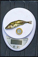 BNPS.co.uk (01202 558833)<br /> Pic:   JackPerks/BNPS<br /> <br /> The stickleback on the scales with a pound coin (which also weighs 9 grammes), to verify its weight.<br /> <br /> Angler Mat Faulkner has hit the big time after breaking the record for catching the largest tiddler fish in Britain.<br /> <br /> Mat landed the enormous stickleback after it went for his bait of a tiny red maggot.<br /> <br /> The 41-year-old barely noticed his his rod flex as he hooked the three-spined stickleback.<br /> <br /> The 3ins long 'monster' weighed 9 grammes - almost 2 grammes heavier than the existing record that has stood for over 20 years.