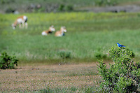 Male Mountain Bluebird (Sialia currucoides) with pronghorn antelope.  Western U.S., June.