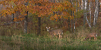White-tailed doe in an autumn field.