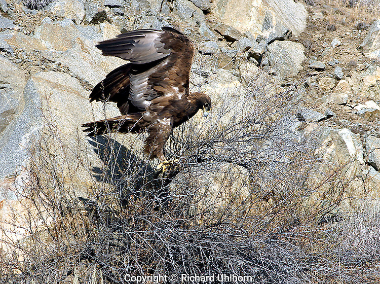 The Golden Eagle (Aquila chrysaetos) is one of the best known birds of prey in the Northern Hemisphere.