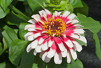 Zinnia 'Swizzle Cherry and Ivory' in summer garden bloom in two colors red and white