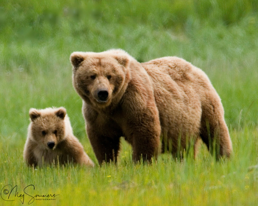 This Alaskan brown bear (Ursus arctos middendorffi) pair were a beautiful, and somewhat unique color of golden brown. This spring cub will hopefully grow up to be just as pretty as her mom.<br />