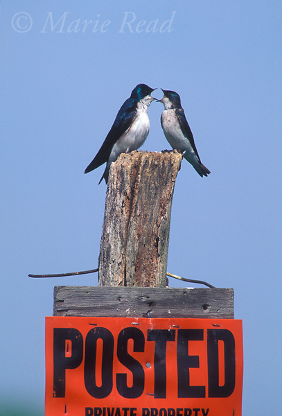Tree Swallows (Tachycineta bicolor), pair vocalizing to each other on a posted sign, New York, USA<br /> Slide # B114-268