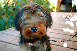 Rowdy, Yorkshire terrier mix