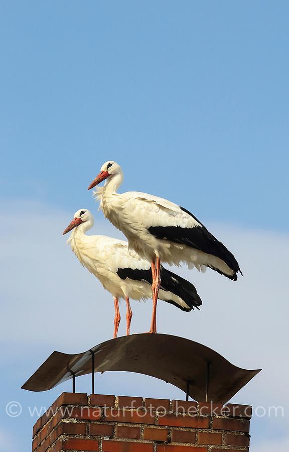 Weißstorch, Weiß-Storch, Weissstorch, Storch, auf einem Schornstein stehend, Ciconia ciconia, White Stork, Cigogne blanche