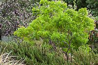 Leucaena retusa, Goldenball leadtree, Littleleaf leadtree, Goldenball lead-tree small tree with pea legume leaves in drought tolerant New Mexico garden