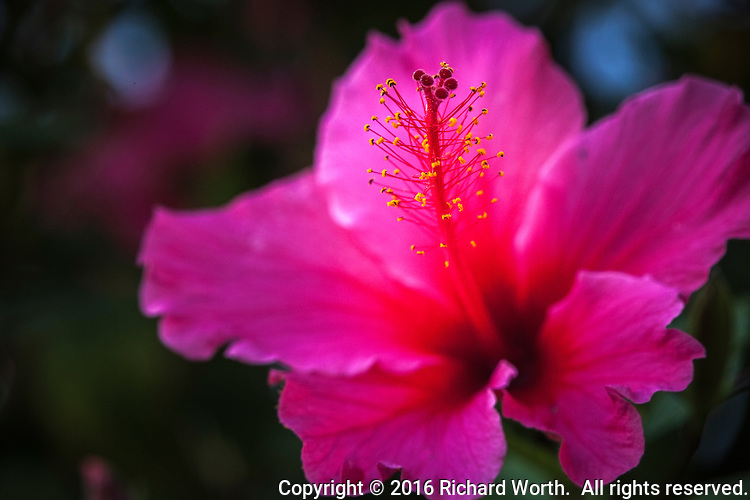 Close-up of a bright pink hibiscus flower.