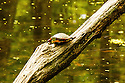 A Painted Turtle basks in the spring sun. When I saw this turtle I immediately wondered how it got so high up on this half submerged log. Clearly this turtle is not afraid of heights...