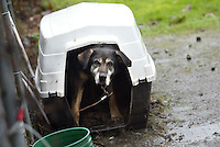 Rocky whose owner says he is a malamute, gets shelter from the rain in a small plastic doghouse, in Enumclaw, Wash. on January 7, 2009.  King County Animal Control found the plastic shelter to be too small for the dog  but months later he is still in there.  (Karen Ducey/Seattle Post-Intelligencer)