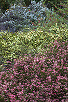Grevillea rosmarinifolia 'Nana' (foreground) with pale yellow flowering Phebalium glandulosum, Australian shrubs in University of California Santa Cruz Botanic Garden