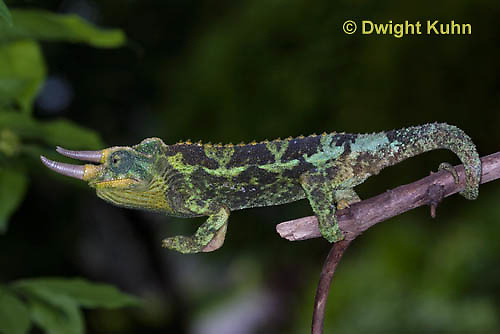 CH34-504z  Male Jackson's Chameleon or Three-horned Chameleon using tail and feet to climb, Chamaeleo jacksonii