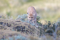 """Young, wild Puma (Puma concolor) checks us out from behind the bushes. Local guides call him """"Simba"""" and we saw him as a cub in 2018. After napping up on the hill, Simba noticed a Guanaco who had wandered almost directly below him. When Simba tried to sneak closer to the Guanaco he was quickly discovered. Here he's either slinking away from the Guanaco or showing us how stealthy he could be."""