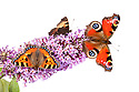 Peacock butterfly {Inachis io} and Small Tortoiseshell butterflies {Aglais urticae} feeding on buddleia flowers {Buddleia davidii}, on a white background. Peak District Natioal Park, Derbyshire, UK. September