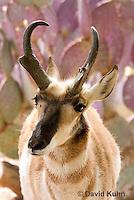 0606-1113  Pronghorn (Prong Buck) in Sonoran Desert, Antilocapra americana  © David Kuhn/Dwight Kuhn Photography