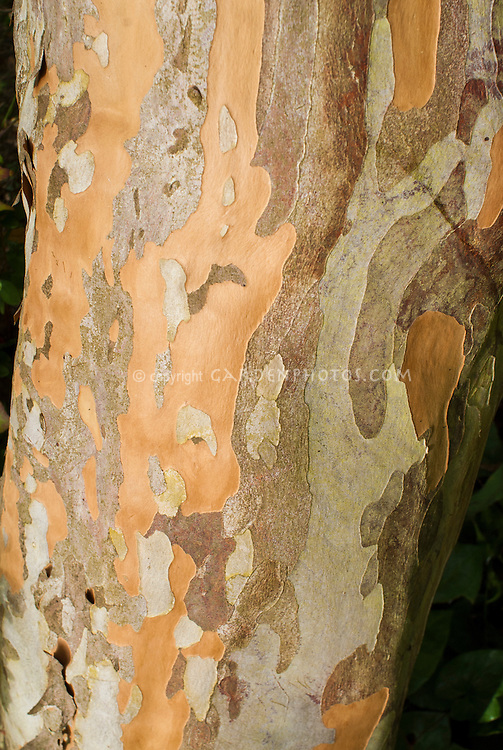 Stewartia pseudocamellia tree trunk bark