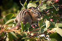 Chipmunk eating berries in Glacier National Park, Montana.