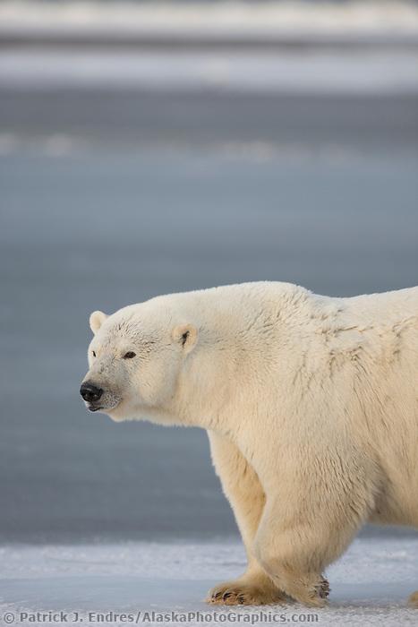 Polar bear walks across the sea ice on Alaska's Arctic coast.