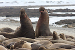 Elephant seal bulls fight in harem