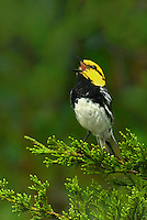 591850012 a wild federally endangered male golden-cheeked warbler setophaga chrysoparia - was dendroica chrysoparia - perches in a fir tree singing on balcones canyonlands national wildlife refuge travis county texas