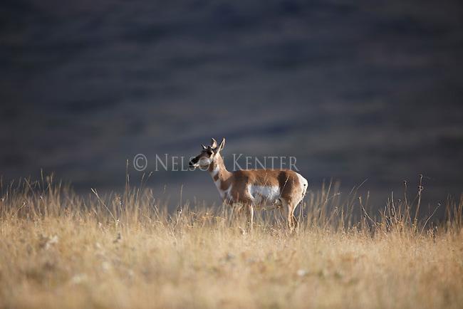 pronghorn antelope doe in western montana