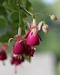 Roger Crowley / CrowleyPhotos.com..Hanging fuchsia plant in Montpelier Vermont..