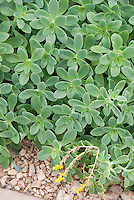 Sedum palmeri groundcover plant for sunny garden sites