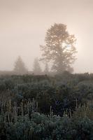 sunrise through trees on a foggy, frosty morning and sagebrush