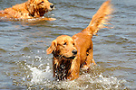 Irish Setter dog in Eagles Mere Lake with tennis ball.