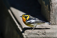 Male Blackburnian warbler (Setophaga fusca) sitting on cabin foundation. Great Lakes Region, May.