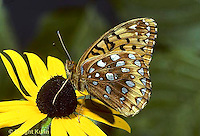 LE29-001b  Butterfly - Great Spangled Fritillary on Black eyed Susan - Speyeria cybele