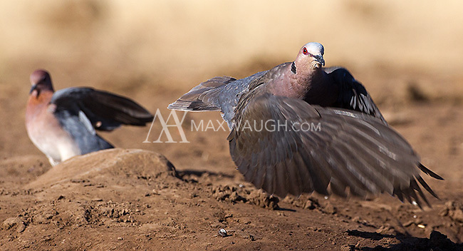 Red-eyed doves were among many bird species we photographed at the Mashatu hide.