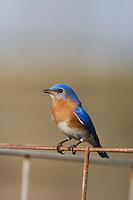 Eastern Bluebird (Sialia sialis), Sinton, Corpus Christi, Coastal Bend, Texas, USA