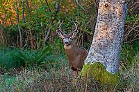 Columbian Black-tailed Deer Buck or Coastal Black-tailed Deer buck (Odocoileus hemionus columbianus).  Pacific Northwest.  Fall.