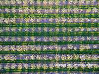 63801-12014 Apple orchard in spring-aerial  Marion Co. IL